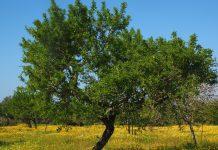 Árboles más viejos de España