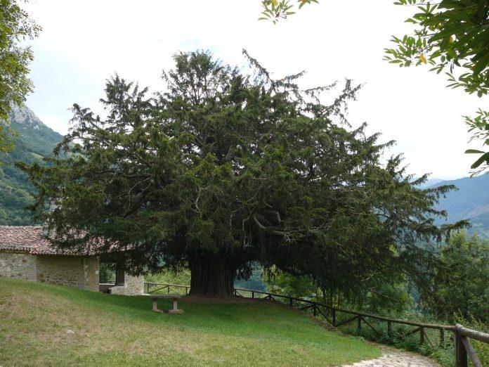 Texu, los árboles más viejos de España