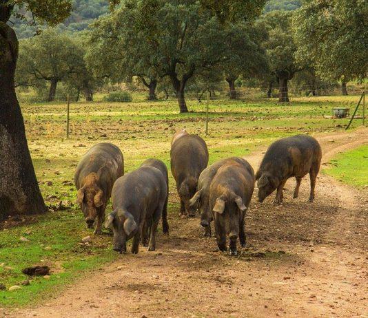 Cerdos ibericos comiendo