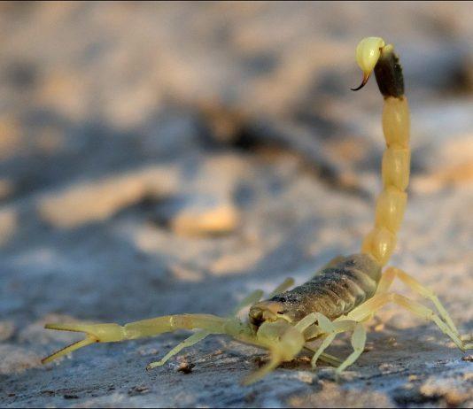 Escorpión palestino