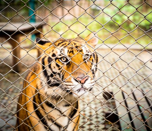 Santuarios de tigres