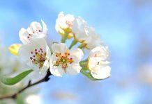 flor de manzano en primavera