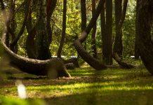 Bosque torcido de Polonia